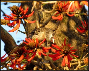flame tree_wattle bird_5