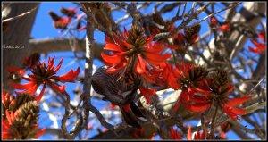 flame tree_wattle bird_6