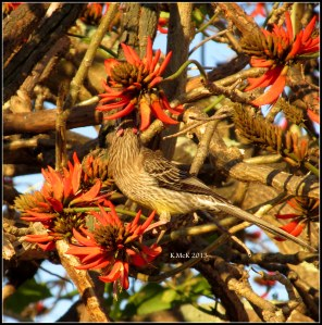 flame tree_wattle bird_7
