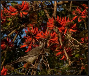 flame tree_wattle bird_8