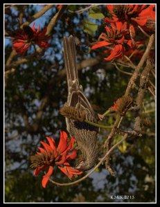flame tree_wattle bird_9