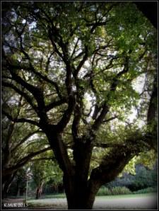 hyde park_tree_4