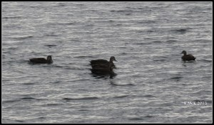 Matilda Bay_ducks
