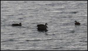 Matilda Bay_ducks