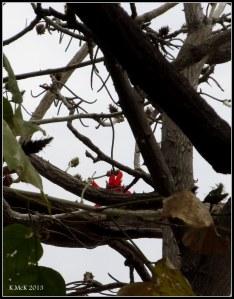 Matilda Bay_flame tree_1