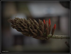 Matilda Bay_flame tree_2