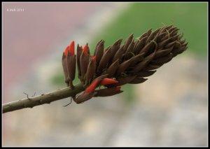Matilda Bay_flame tree_3