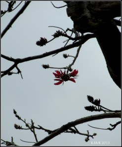 Matilda Bay_flame tree_6