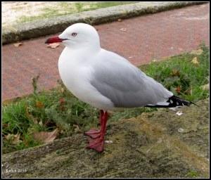 Matilda Bay_seagull_1