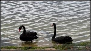 Matilda Bay_swans
