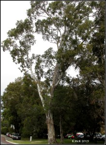 Matilda Bay_trees_11
