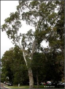 Matilda Bay_trees_11
