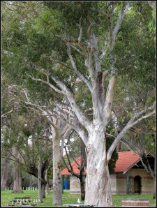 Matilda Bay_trees_12