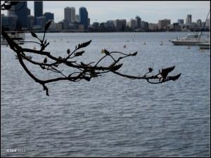 Matilda Bay_trees_3