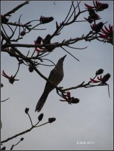 wattle bird_2