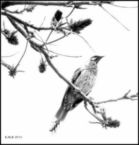 wattle bird_black and white