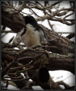 willy wagtail_Matilida Bay_1