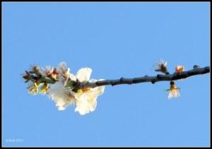 almond blossom_1