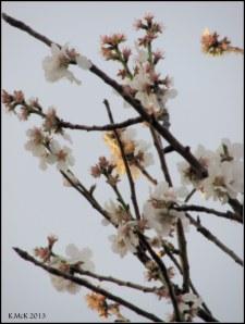 almond blossom_2