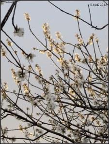 almond blossom_3