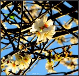 almond blossom_4