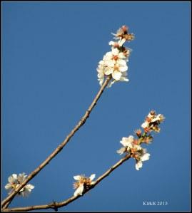 almond blossom_5