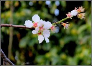 blossom_5