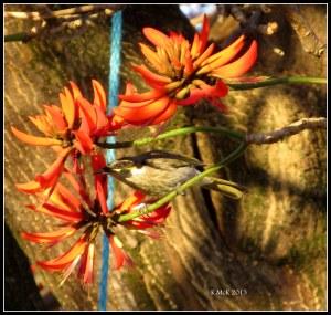 flame tree_3