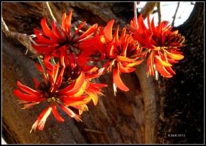 flame tree_4