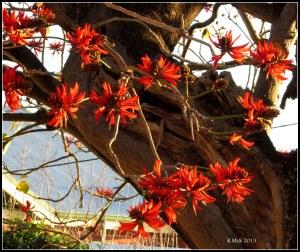 flame tree_6