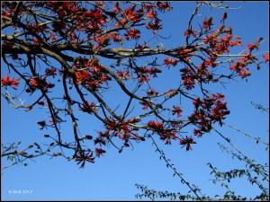 flame tree_8