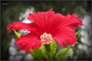 little hibiscus