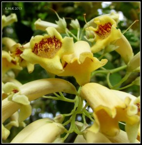 little yellow jasmine_1