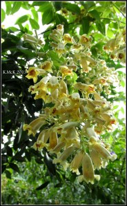 little yellow jasmine_2