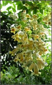 little yellow jasmine_2