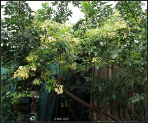 little yellow jasmine_3