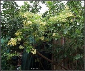 little yellow jasmine_3