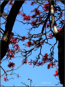 matilda bay_flame tree