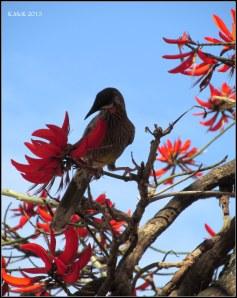 matilda bay_wattle bird_1
