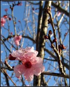 pink blossom_1