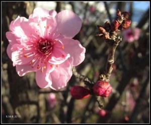 pink blossom_2