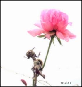 rose_4