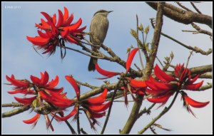 singing honey eater_2
