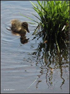 hyde park_ducks_1