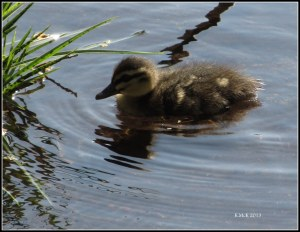 hyde park_ducks_2