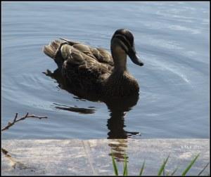 hyde park_ducks_3
