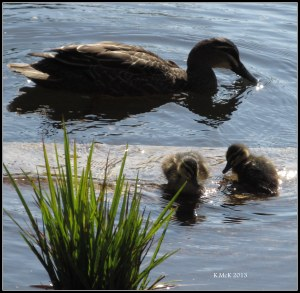 hyde park_ducks_4