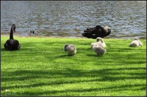 swans_6