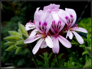 lemon scented geranium