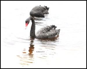 swan_3